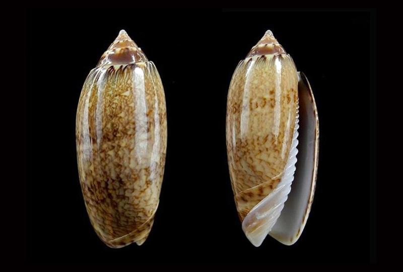 Americoliva bollingi goajira (Petuch & Sargent, 1986) - Worms = OLiva nivosa bollingi (Clench, 1934) Americ16