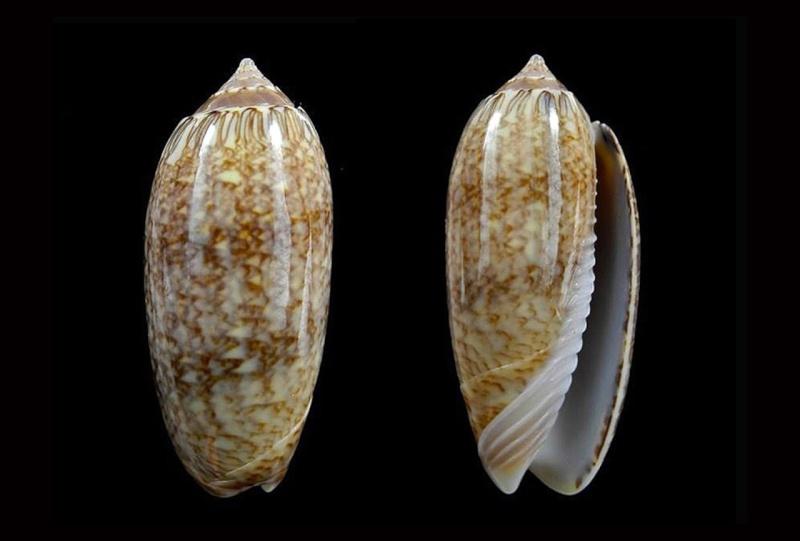 Americoliva bollingi goajira (Petuch & Sargent, 1986) - Worms = OLiva nivosa bollingi (Clench, 1934) Americ17