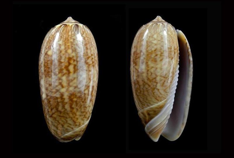 Americoliva bollingi goajira (Petuch & Sargent, 1986) - Worms = OLiva nivosa bollingi (Clench, 1934) Americ18