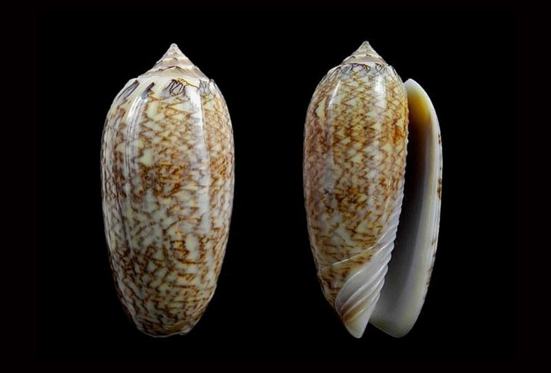 Americoliva bollingi goajira (Petuch & Sargent, 1986) - Worms = OLiva nivosa bollingi (Clench, 1934) Americ19