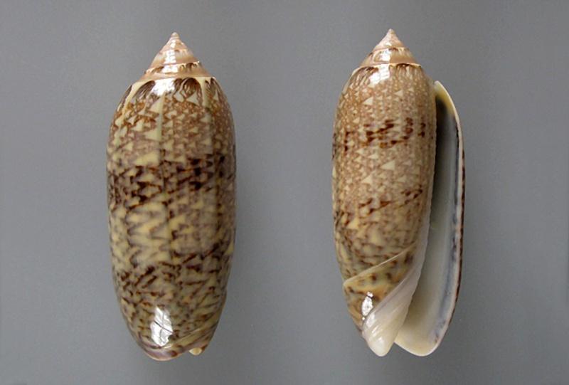 Americoliva circinata circinata (Marrat, 1871) Americ20
