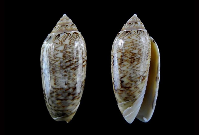 Americoliva circinata jorioi (Petuch, 2013) - Worms = Oliva circinata circinata Marrat, 1871 Americ21
