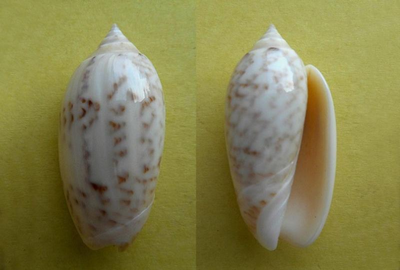 Americoliva fulgurator bullata (Marrat, 1871) - Worms = oliva fulgurator (Röding, 1798)  Americ24