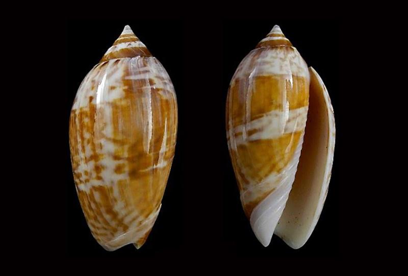 Americoliva fulgurator fulgurator (Röding, 1798) Americ26