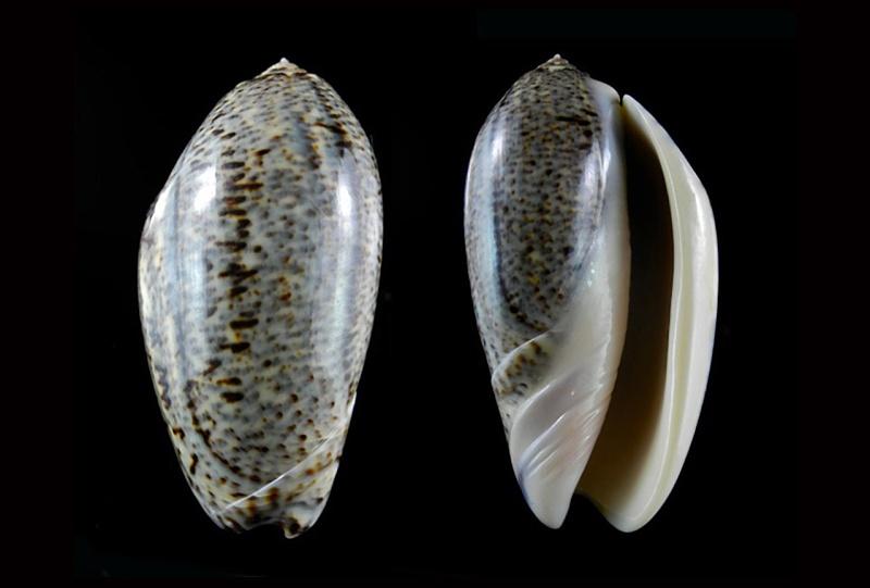 Americoliva incrassata (Lightfoot in Solander, 1786) Americ27