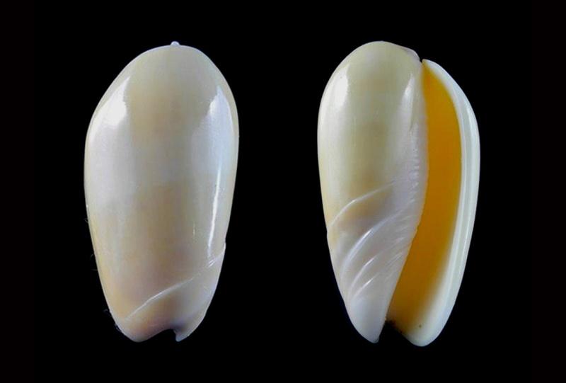 Americoliva incrassata burchorum (Zeigler, 1969) - Worms = Americoliva incrassata (Lightfoot in Solander, 1786) Americ28