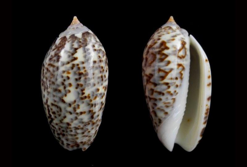 Americoliva julieta (Duclos, 1835) Americ29