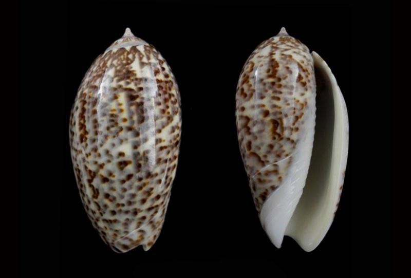 Americoliva julieta (Duclos, 1835) Americ30
