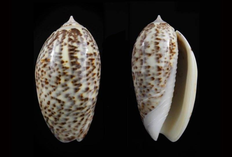 Americoliva julieta (Duclos, 1835) Americ31