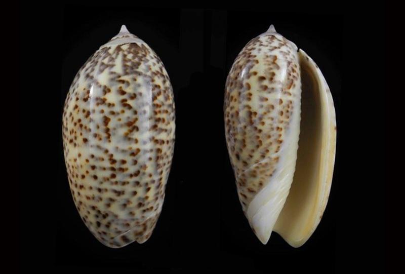 Americoliva julieta (Duclos, 1835) Americ32