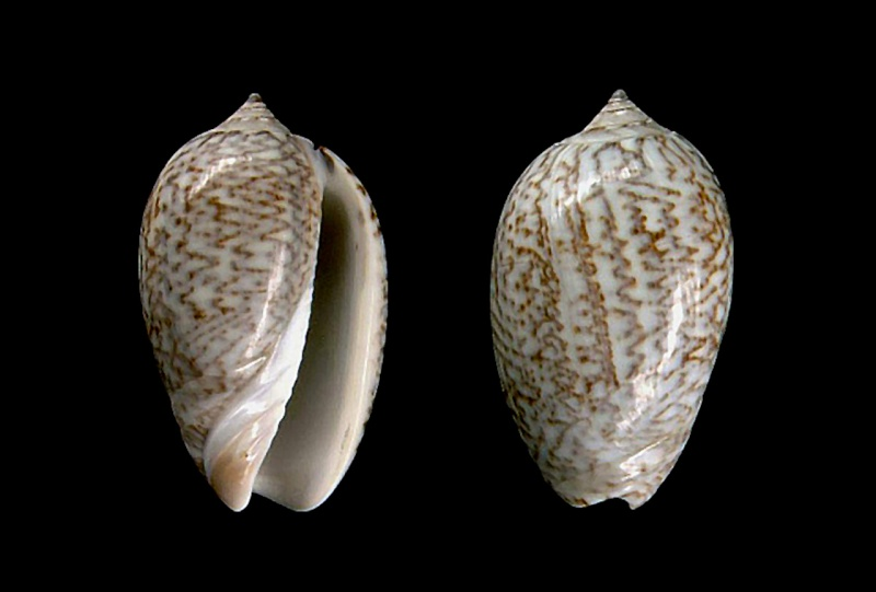 Americoliva obesina (Duclos, 1840) - Worms = Americoliva obesina (Duclos, 1840) Americ35