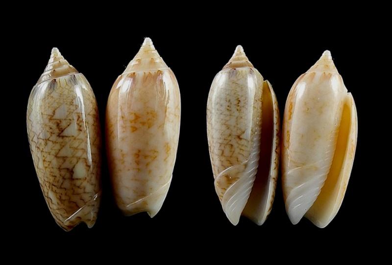 Americoliva olivacea (Marrat, 1870) - Worms = Americoliva reticularis (Lamarck, 1811) Americ36