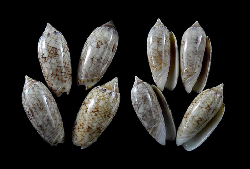 Americoliva olivacea (Marrat, 1870) - Worms = Americoliva reticularis (Lamarck, 1811) Americ37