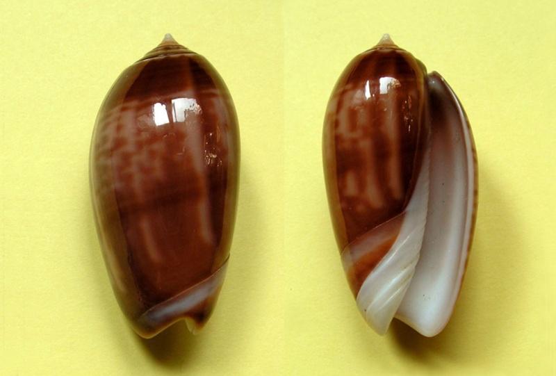 Americoliva peruviana f. subcastanea (Vanatta, 1915) accepted as Americoliva peruviana (Lamarck, 1811) Americ38