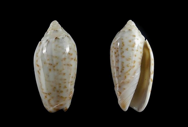 Americoliva pindarina (Duclos, 1840) Americ39