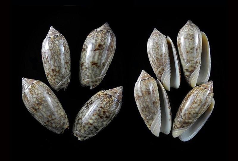 Americoliva reticularis ernesti (Petuch, 1990) Americ42