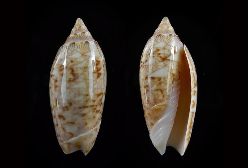 Americoliva spicata deynzerae (Petuch & Sargent, 1986) Americ46