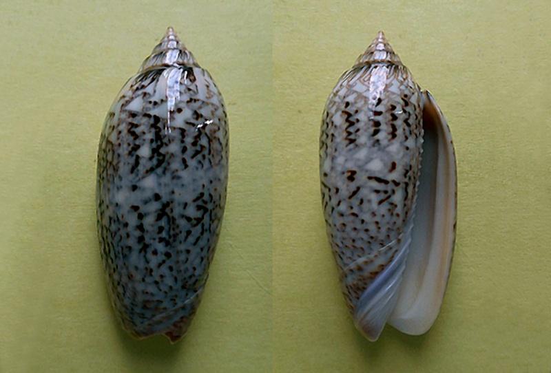 Americoliva spicata deynzerae (Petuch & Sargent, 1986) Americ47