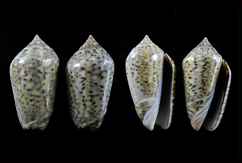 Americoliva subangulata subangulata (Philippi, 1848) Americ51