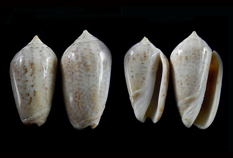 Americoliva subangulata corteziana (Petuch & Sargent, 1986) - Worms = Oliva spicata spicata (Röding, 1798) Americ52