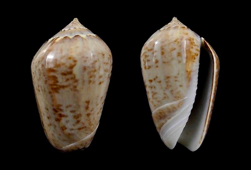 Americoliva subangulata subangulata (Philippi, 1848) Americ53
