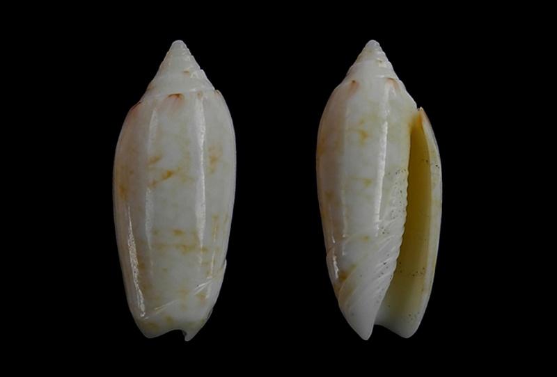 Americoliva sunderlandi (Petuch, 1987) Americ54