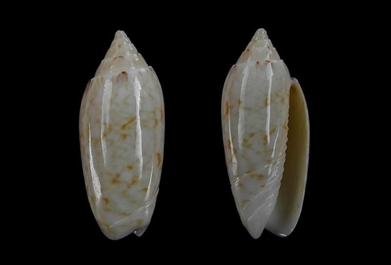 Americoliva sunderlandi (Petuch, 1987) Americ55