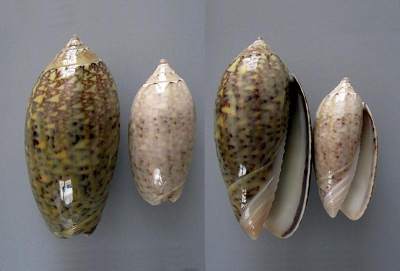 Americoliva tisiphona (Duclos, 1844) Americ56