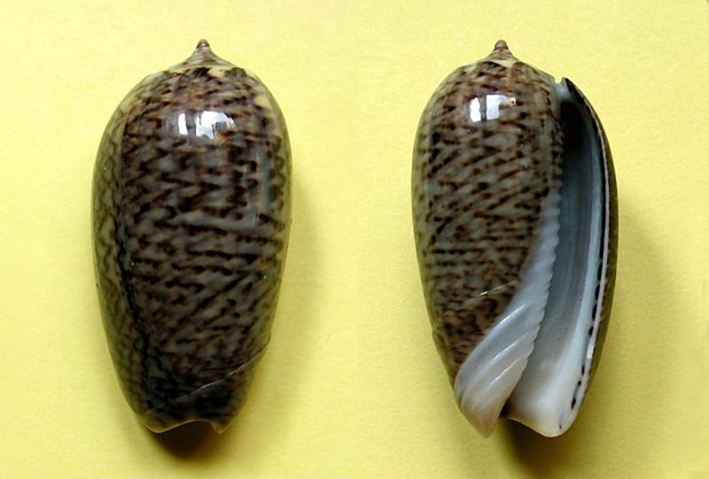 Americoliva truncata (Marrat, 1867) Americ58