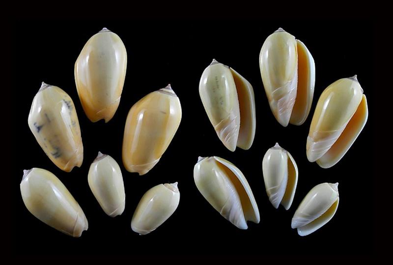 Americoliva incrassata burchorum (Zeigler, 1969) - Worms = Americoliva incrassata (Lightfoot in Solander, 1786) Americ59
