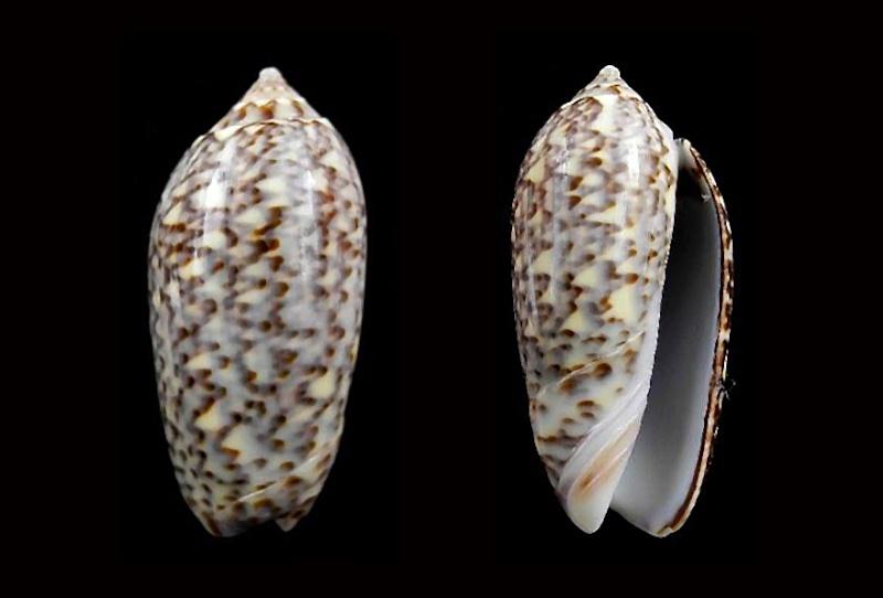 Americoliva violacea (Marrat, 1867) Americ60