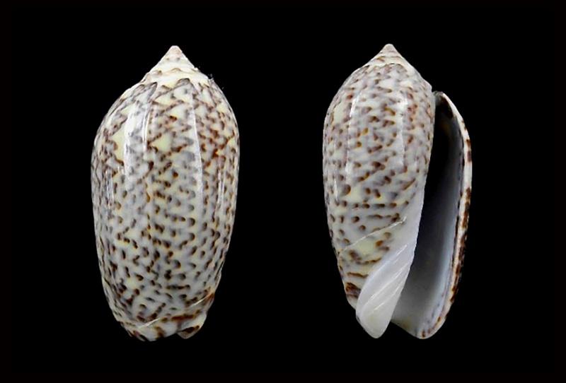 Americoliva violacea (Marrat, 1867) Americ61