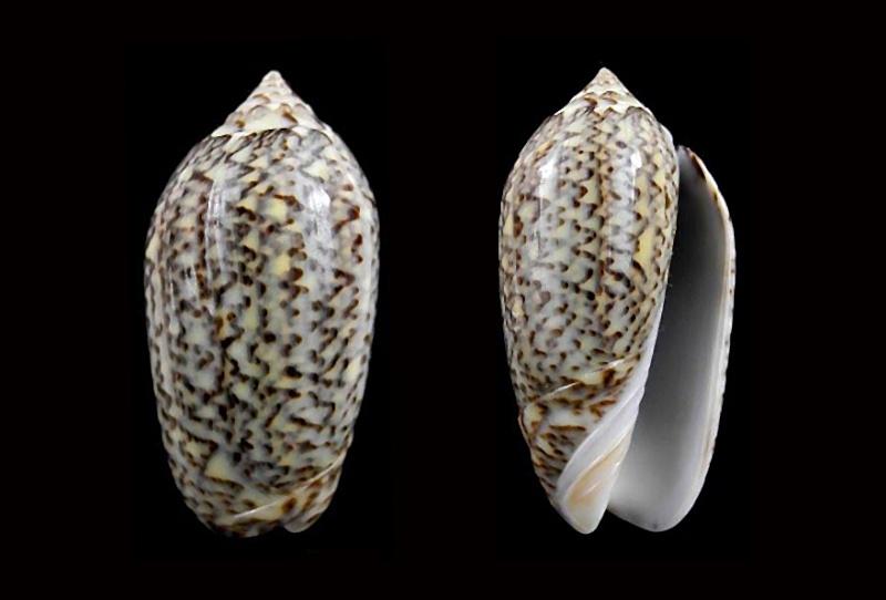 Americoliva violacea (Marrat, 1867) Americ62