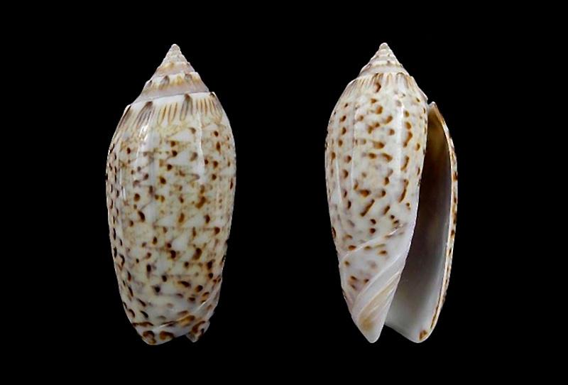 Americoliva venulata (Lamarck, 1811) Americ63