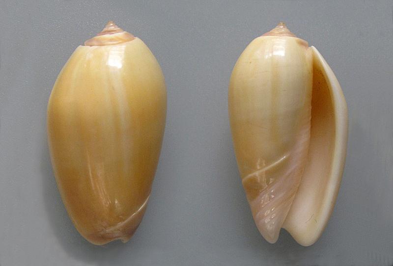 Americoliva incrassata burchorum (Zeigler, 1969) - Worms = Americoliva incrassata (Lightfoot in Solander, 1786) - Page 2 Americ64