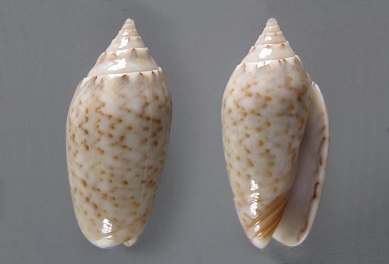 Americoliva pindarina (Duclos, 1840) Americ65