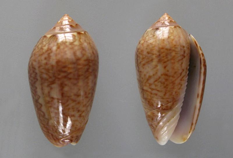Americoliva olssoni (Petuch & Sargent, 1986) Americ66