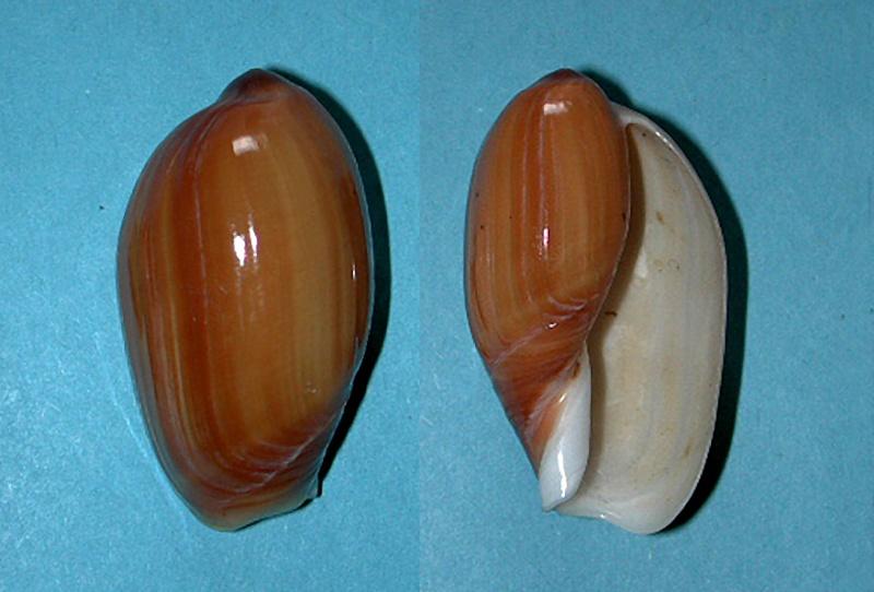 Anolacia aperta - (G. B. Sowerby I, 1825)  Anolac11