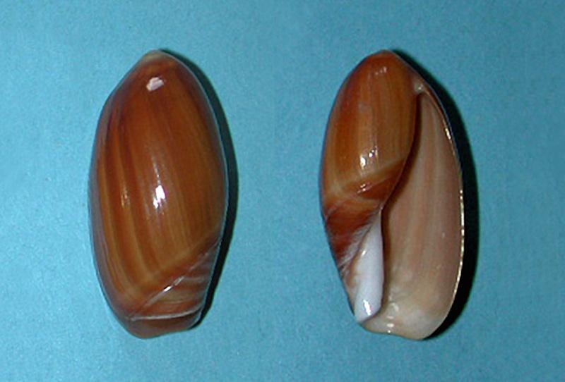 Anolacia aperta - (G. B. Sowerby I, 1825)  Anolac12