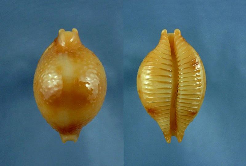 Pustularia bistrinotata excelsior - Lorenz, 2014 Bistri10