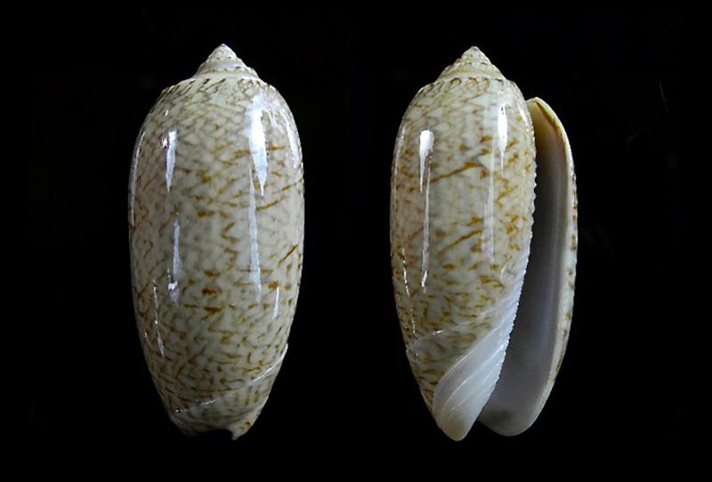 Cariboliva scripta venezuelana (Petuch & Sargent, 1986) - Worms = Oliva scripta Lamarck, 1811 Caribo12