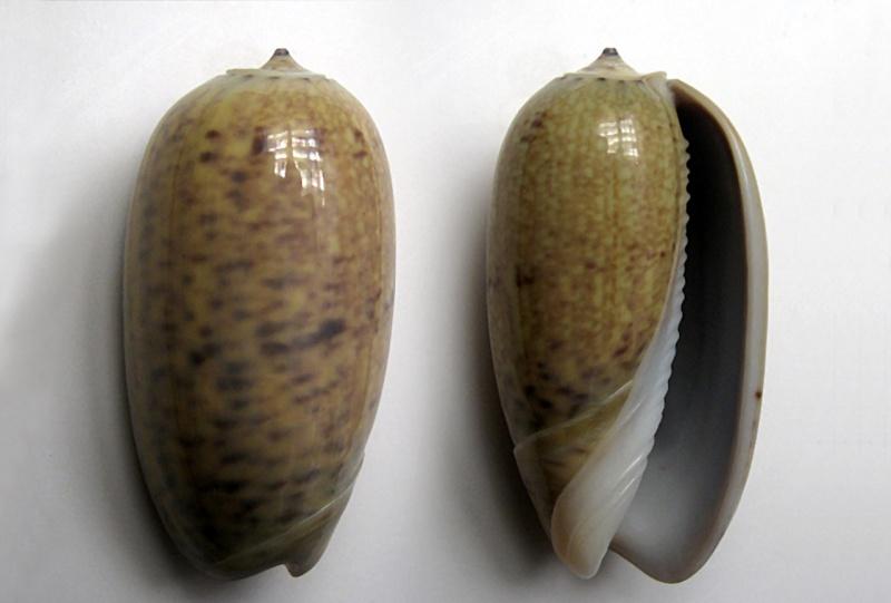 Carmione bulbiformis (Duclos, 1840) - Worms = Oliva bulbiformis Duclos, 1840 Carmio10