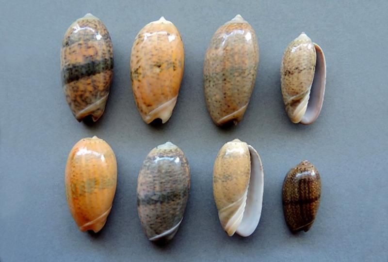Carmione bulbiformis (Duclos, 1840) - Worms = Oliva bulbiformis Duclos, 1840 Carmio11