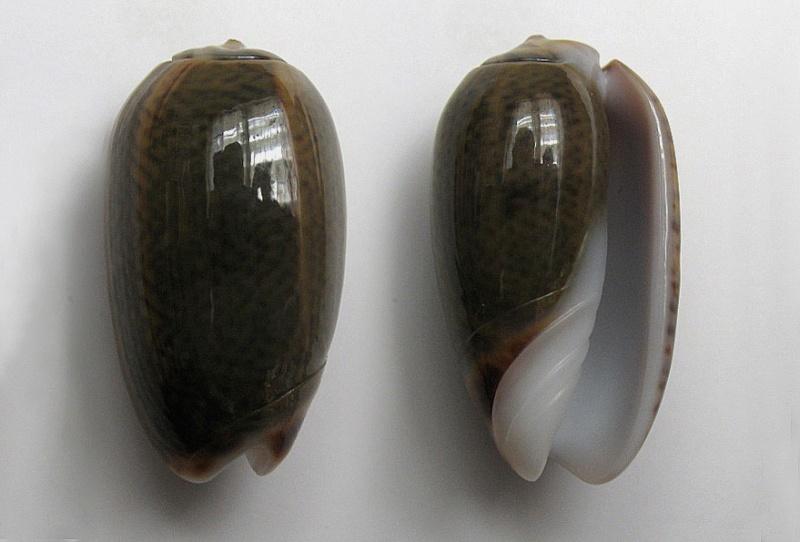 Carmione dactyliola (Duclos, 1835) Carmio17