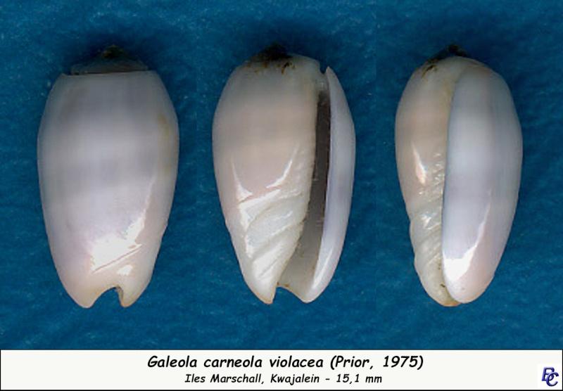 Galeola carneola f. violacea (Prior, 1975) voir Galeola carneola (Gmelin, 1791) Carneo10