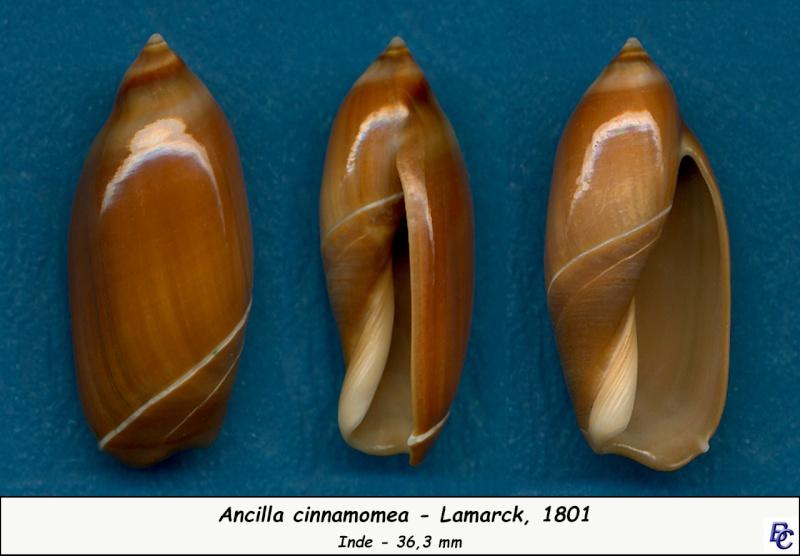 Ancilla cinnamomea - Lamarck, 1801 Cinnam10