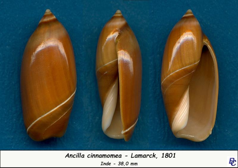 Ancilla cinnamomea - Lamarck, 1801 Cinnam11
