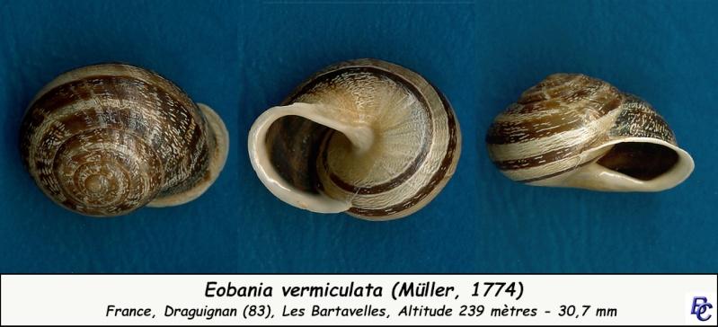 Eobania vermiculata (Müller, 1774) Eobani10