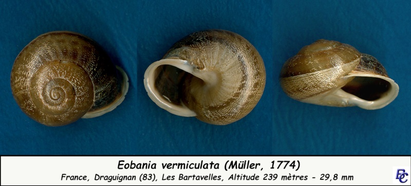 Eobania vermiculata (Müller, 1774) Eobani11