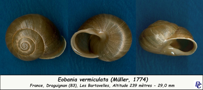 Eobania vermiculata (Müller, 1774) Eobani12